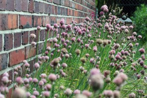 chives-2372348_1920