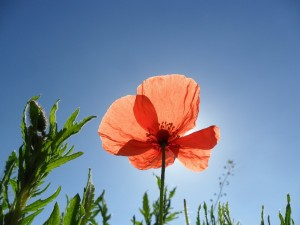 poppy-895743_1920